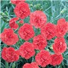 Scented Hardy Devon Pinks Collection x12 mixed