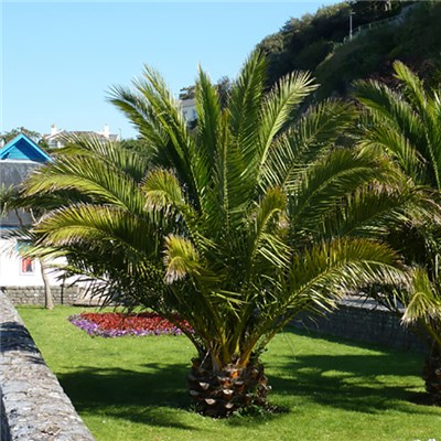 Pair Phoenix Palms 80cm plus 2 Tuscany