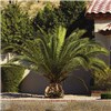 Pair Phoenix Palms 80cm plus 2 Tuscany  aged mesquite 10in planters