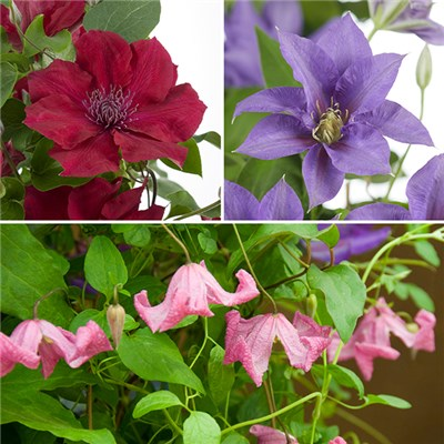 Boulevard Patio Clematis Collection 3 x 10.5cm