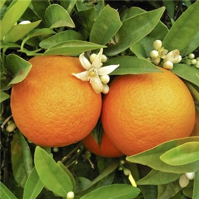 Pair of Orange Trees 90cm high 5L with Planters and Citrus Feed