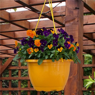 Viola Totally Brilliant in Orange Hanging Baskets 27cm (Pair)