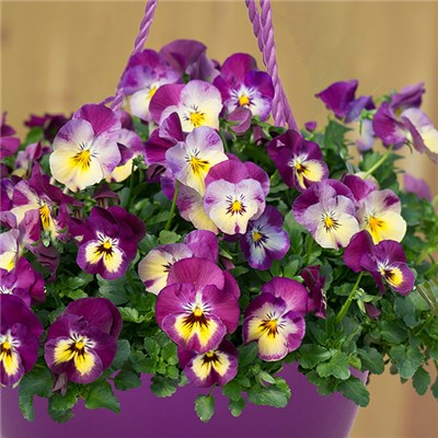 Pansy Coolwave Raspberry Swirl in Purple Hanging Baskets 27cm (Pair)