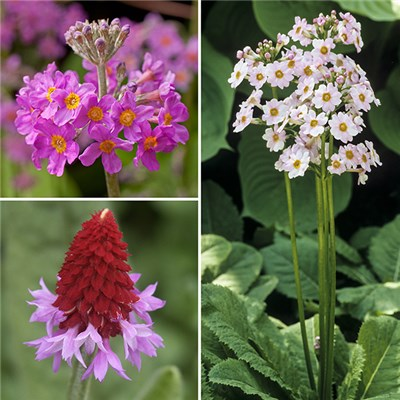 Collection of 12 Primrose plugs - Candelabra, Appleblossom & Vialii