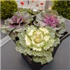 Ornamental Cabbage Set of 3 x 10,5cm