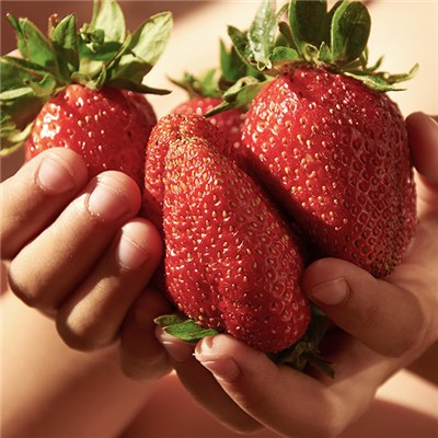 Giant Strawberry Sweet Colossus Plugs - GYO Pack of 12