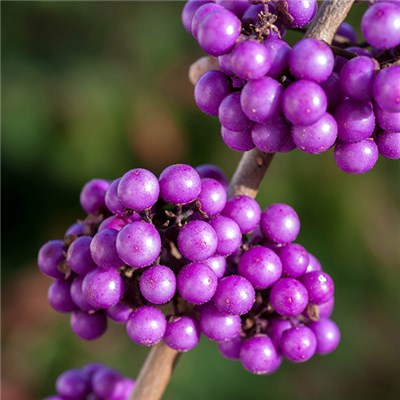 Callicarpa Profusion Beauty Berry 3L