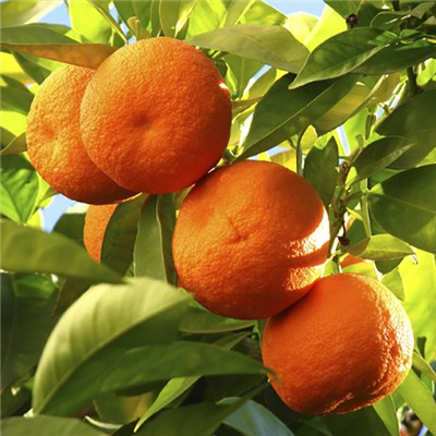 Citrus Orange Tree 6.5L Planter & Citrus Feed