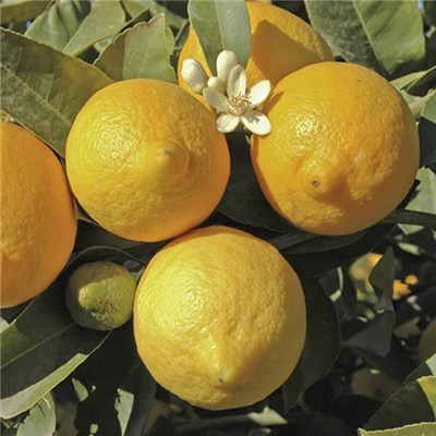 Citrus Lemon Tree 6.5L Planter & Citrus Feed