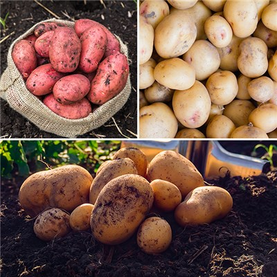 Patio Potato Growing Kit with Exclusive Varieties and Black Growing Pots