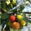 Arbutus unedo (Strawberry Tree) 17cm