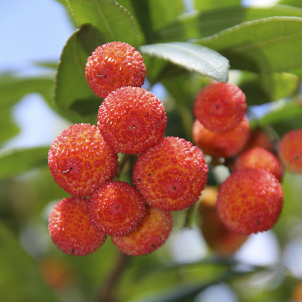 Arbutus Unedo (Strawberry Tree) 17cm No Colour