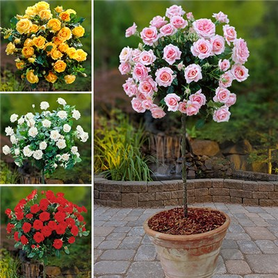 Patio Standard Rose Collection x4 Bare Roots & Blooming Fast Fertiliser 500g