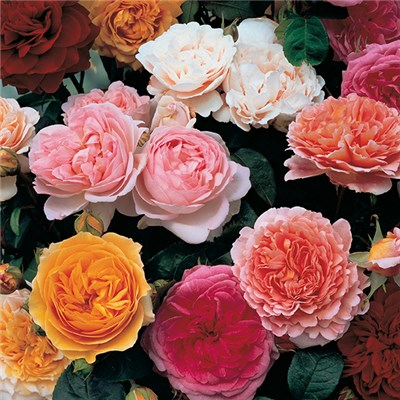 Old English Shrub Rose Collection x5 Bare Roots & Fertiliser 50g