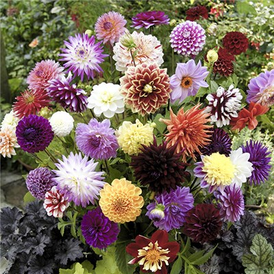 Dahlia Collection x10 Tubers Cactus & Decorative Mixed Varieties