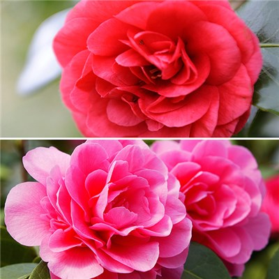 Pair of Camellia Pink & Red 15cm Pot