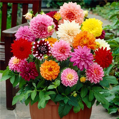 Dahlia Decorative Splash Mixed x5 Tubers