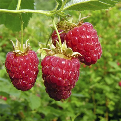 Premium Raspberry Autumn Bliss - x10 canes