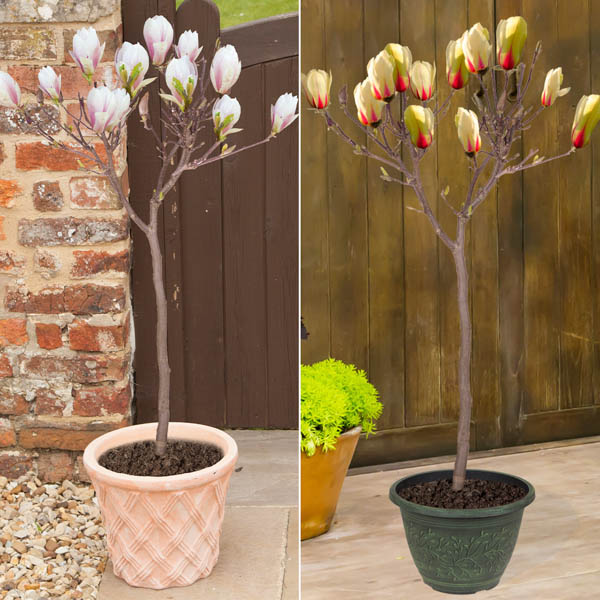 Pair of Magnolia Red & Yellow 1.1 - 1.2m Bare Root No Colour