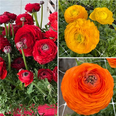Pack of 3 Bright Ranunculus Bulbs x10