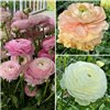 Pack of 3 Pastel Ranunculus Bulbs x10