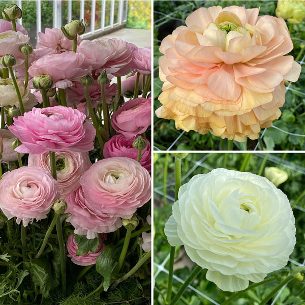 Pack of 3 Pastel Ranunculus No Colour