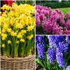 Complete Spring Flowering Potted Bulbs Collection 13cm x6