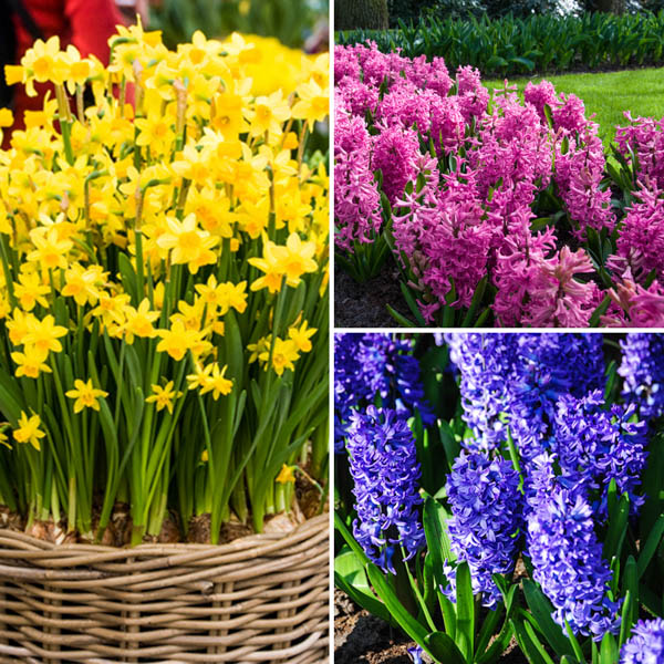 Complete Spring Flowering Potted Bulb Collection (13cm) No Colour