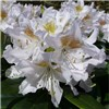 Pair Rhododendron White & Pink 17cm