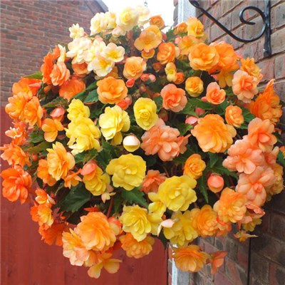 Begonia Fiery Shades Mix - 30 Tubers