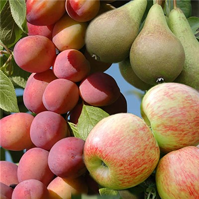 Patio Fruit Tree Collection & BONUS Fertiliser 50g