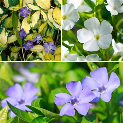 Set of 3 Vinca minor 2L