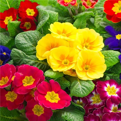Primula Collection Assorted Colours 13cm x 8