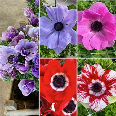Anemone Mistral Mixed Bulbs x 20