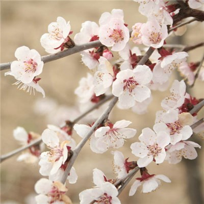Pair of Prunus incisa Kojo-no Pots (9cm)
