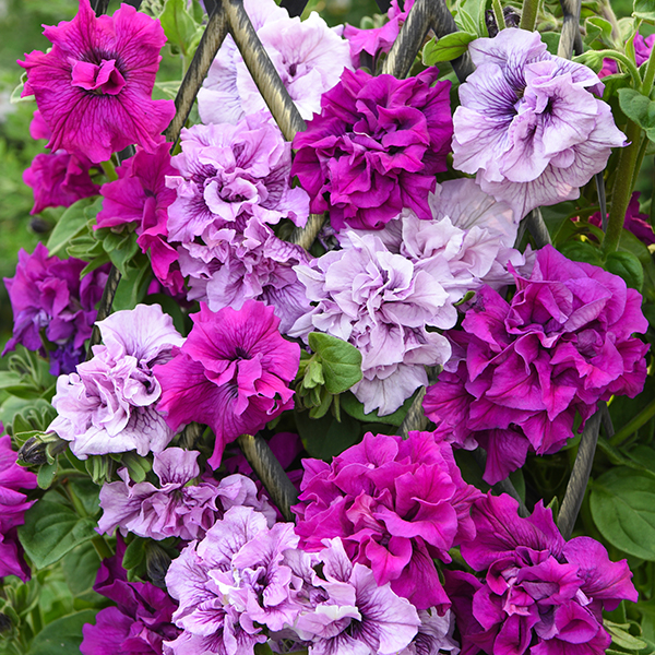Petunia Dizzy Heights Double Mix Plug x 12 No Colour