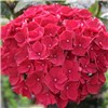 Set of 3 Hydrangea Magical Pink Ruby 14cm