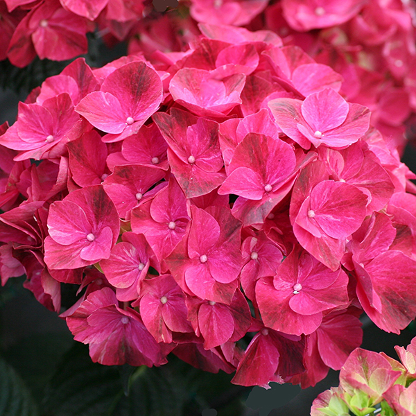 Set of Hydrangea Magical Pink Ruby (14cm) No Colour