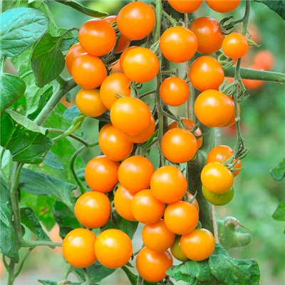 Tomato Sungold Super Sweet x 6 Plug Plants